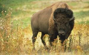 Lone Buffalo, EarthShare