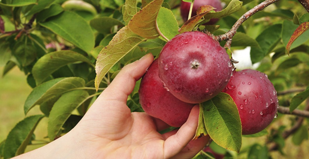 Closeup of hand picking apples