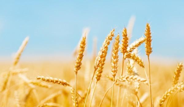 Wheat fields, Walmart