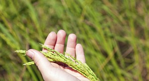 Hand Holding Green Wheat Stalks