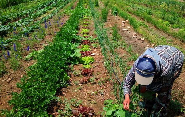 A farmer closely examines produce growing in the ground