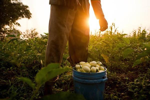 Man harvests eggplant near Udzungwa National Park.