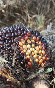 media-images-other-agriculturepalm-oil_129847782989149069_190x300.jpg