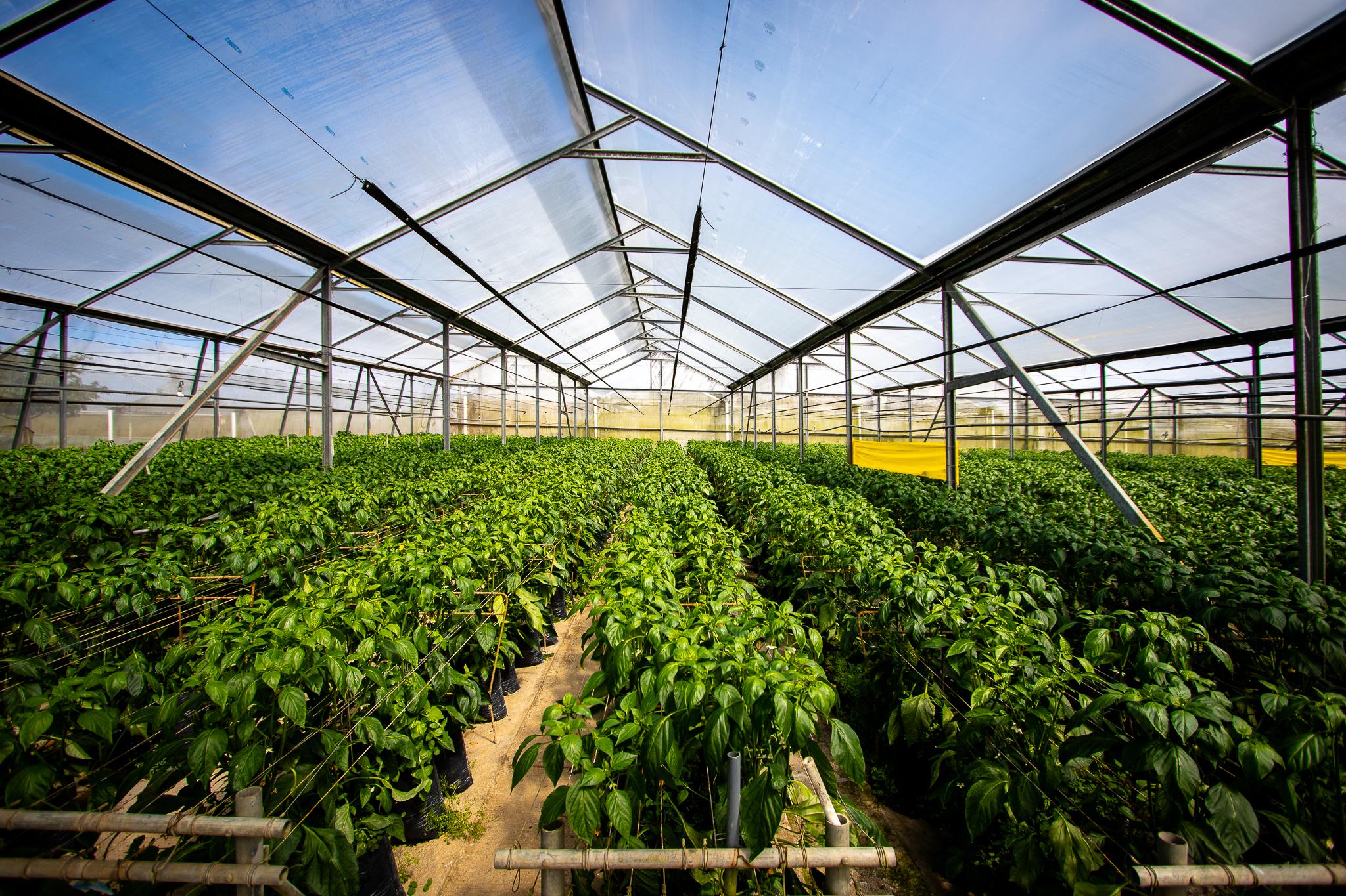 Walmart promueve cultivo bajo invernadero entre sus proveedores costarricenses