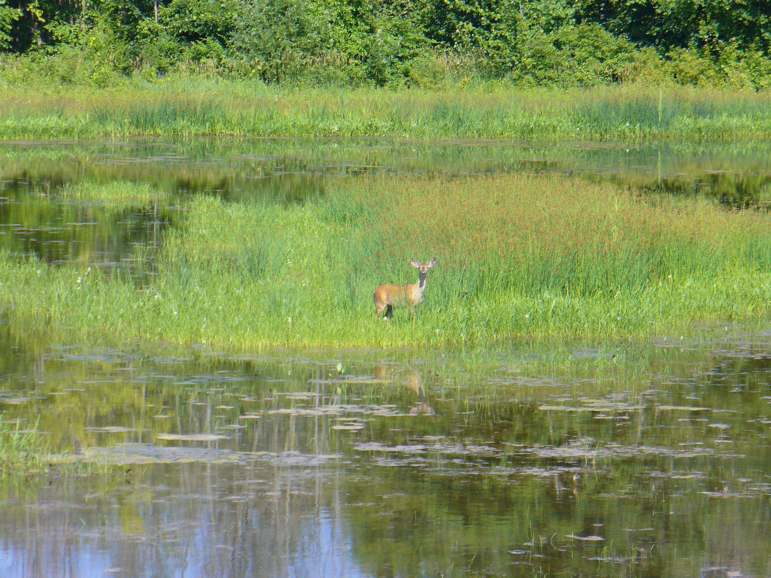 A deer stands in a wetland area