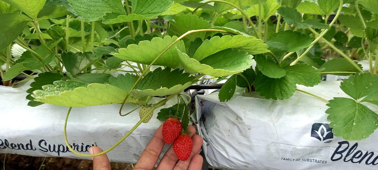 Walmart y productores de Jinotega logran la primera importación de plántulas de fresas en Nicaragua