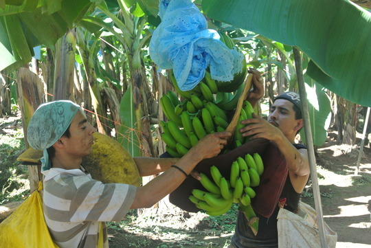 Walmart Corporate Contact >> From farm to store: How we grow and harvest our bananas ...
