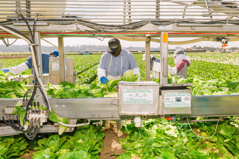 Farmers process lettuce in a field