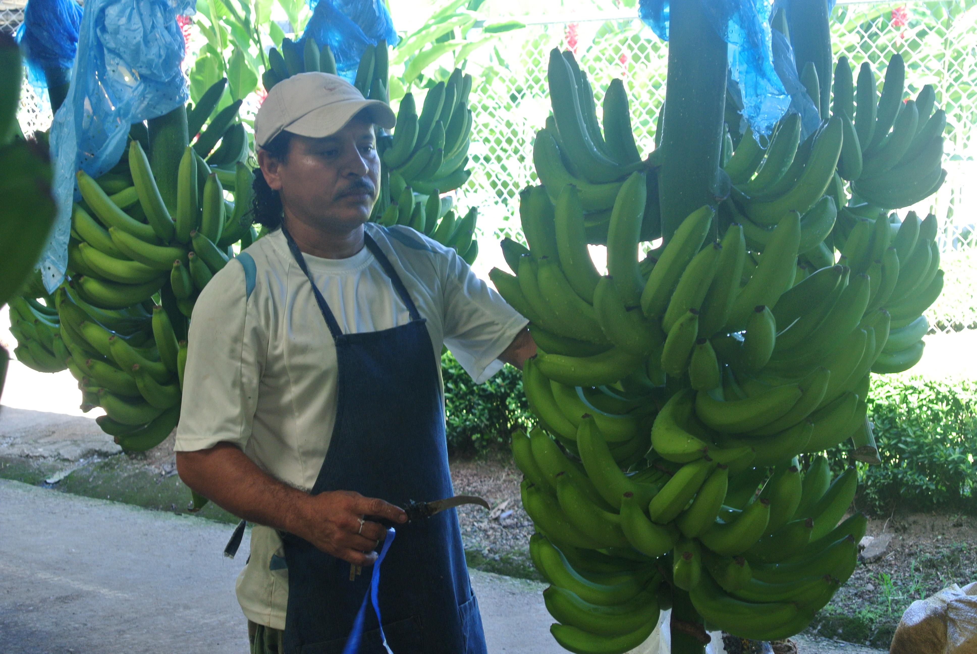 Banana11