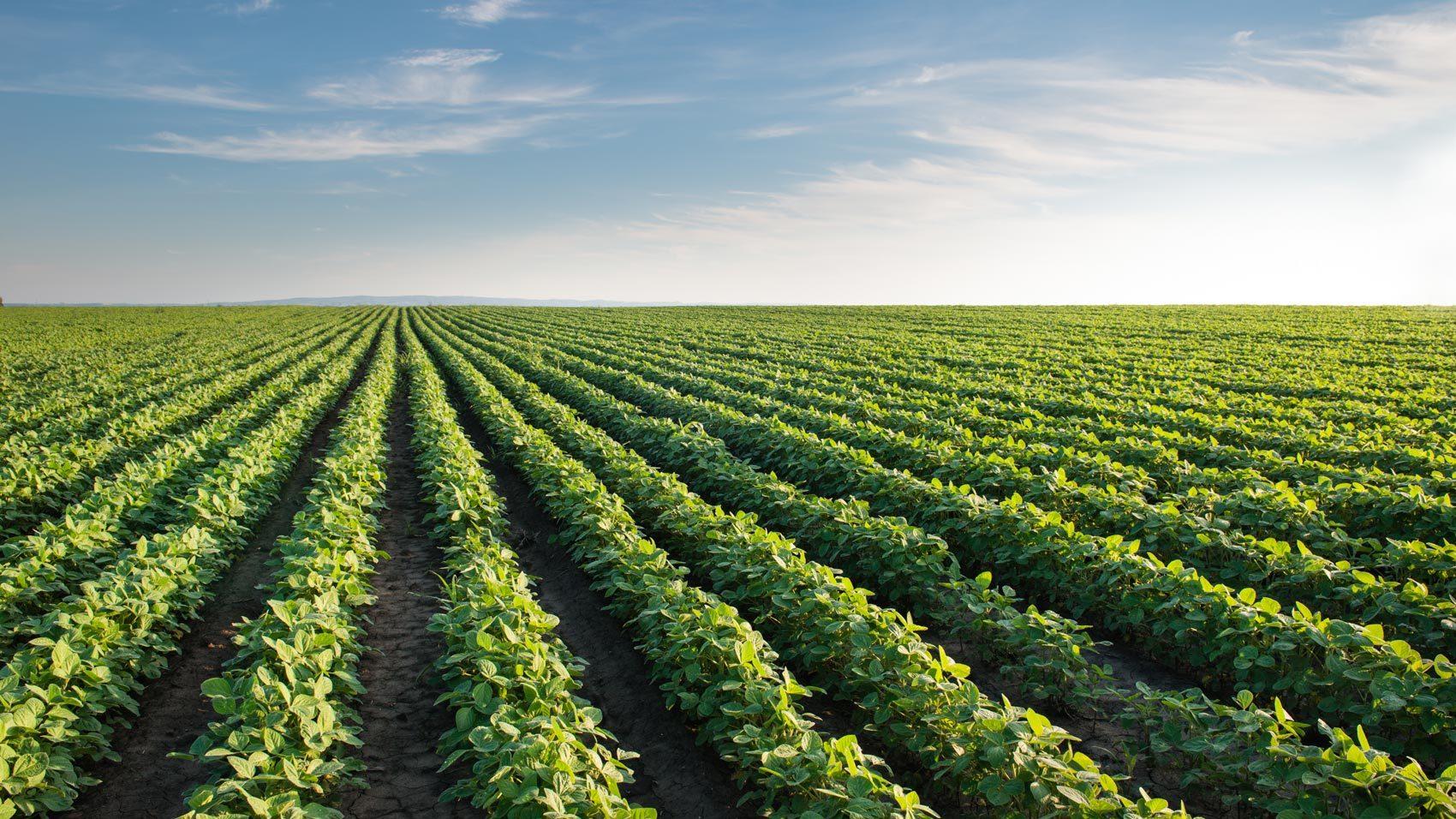 Natural Capital/soybean-field.jpg
