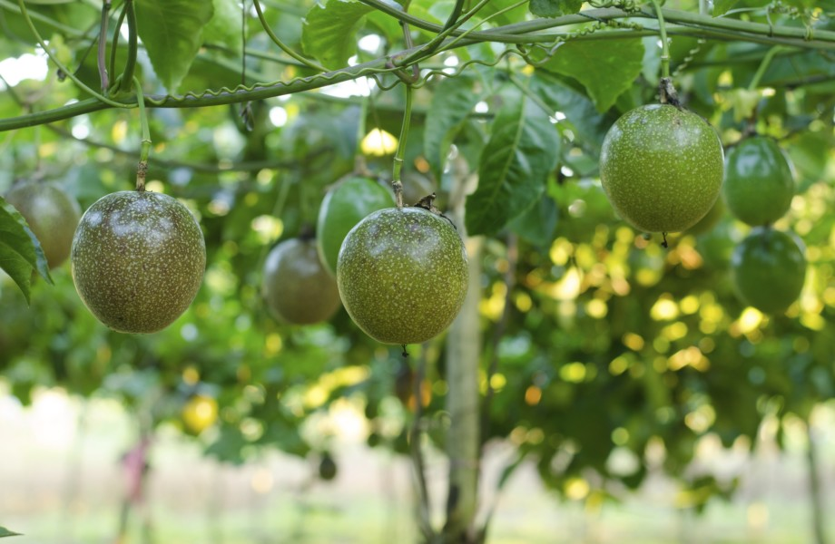 Passionfruit hang from a branch in a field