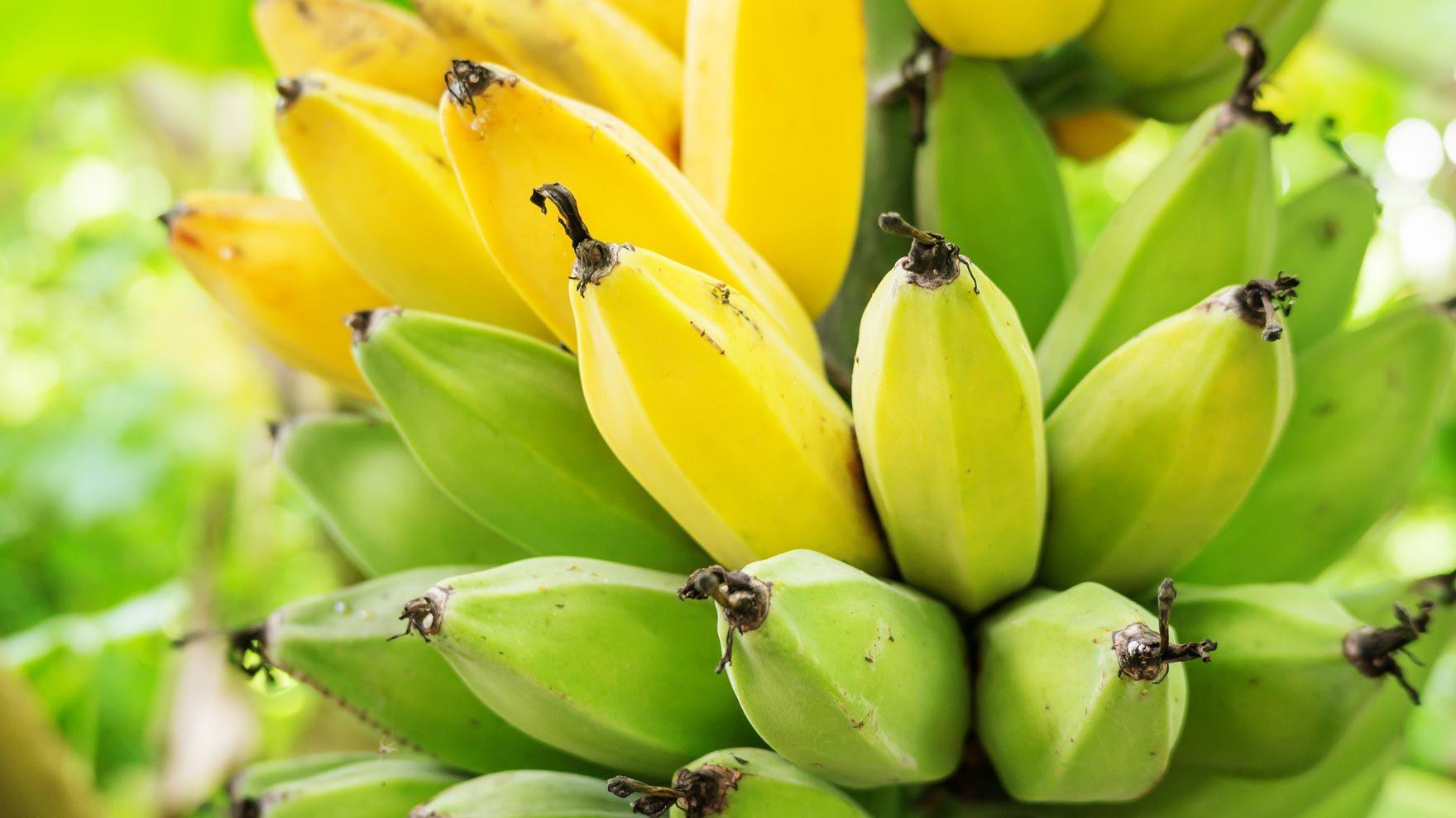Product Supply Chain/bananas.jpg