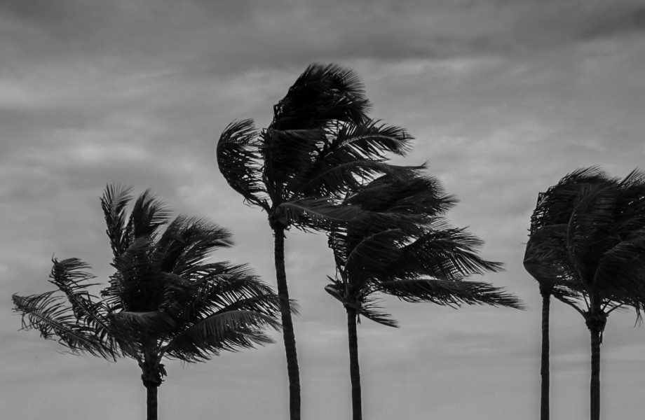 Hurricane Palm Trees