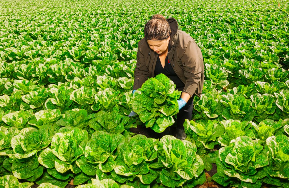 A farmer harvests lettuce in a field
