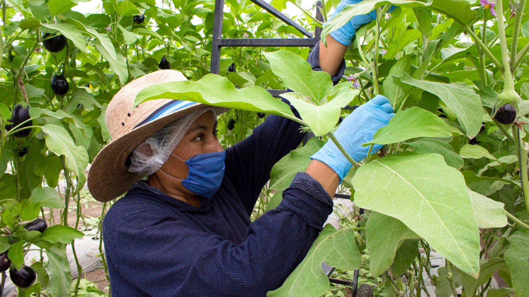 People in Supply Chain/picker-eggplants-mexico.jpg