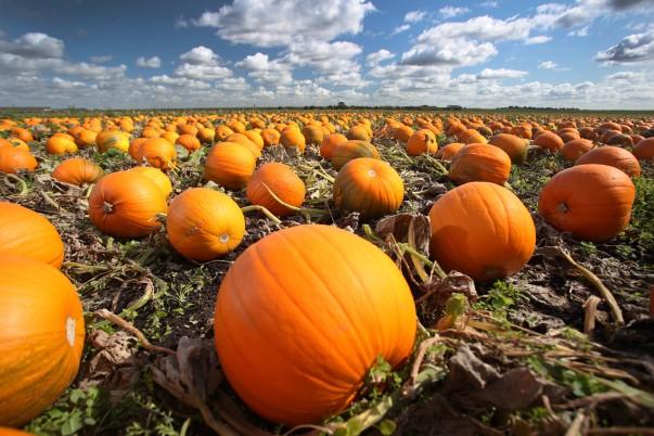 The warm wet summer means Asda has a bumper pumpkin harvest