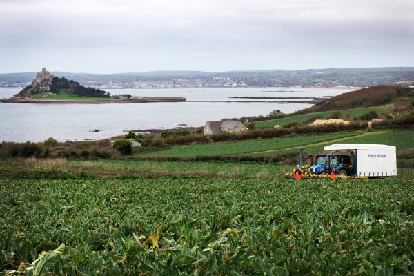 Growing cauliflowers for Asda at the farm in Cornwall