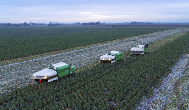 Harvesting Asda's sprouts
