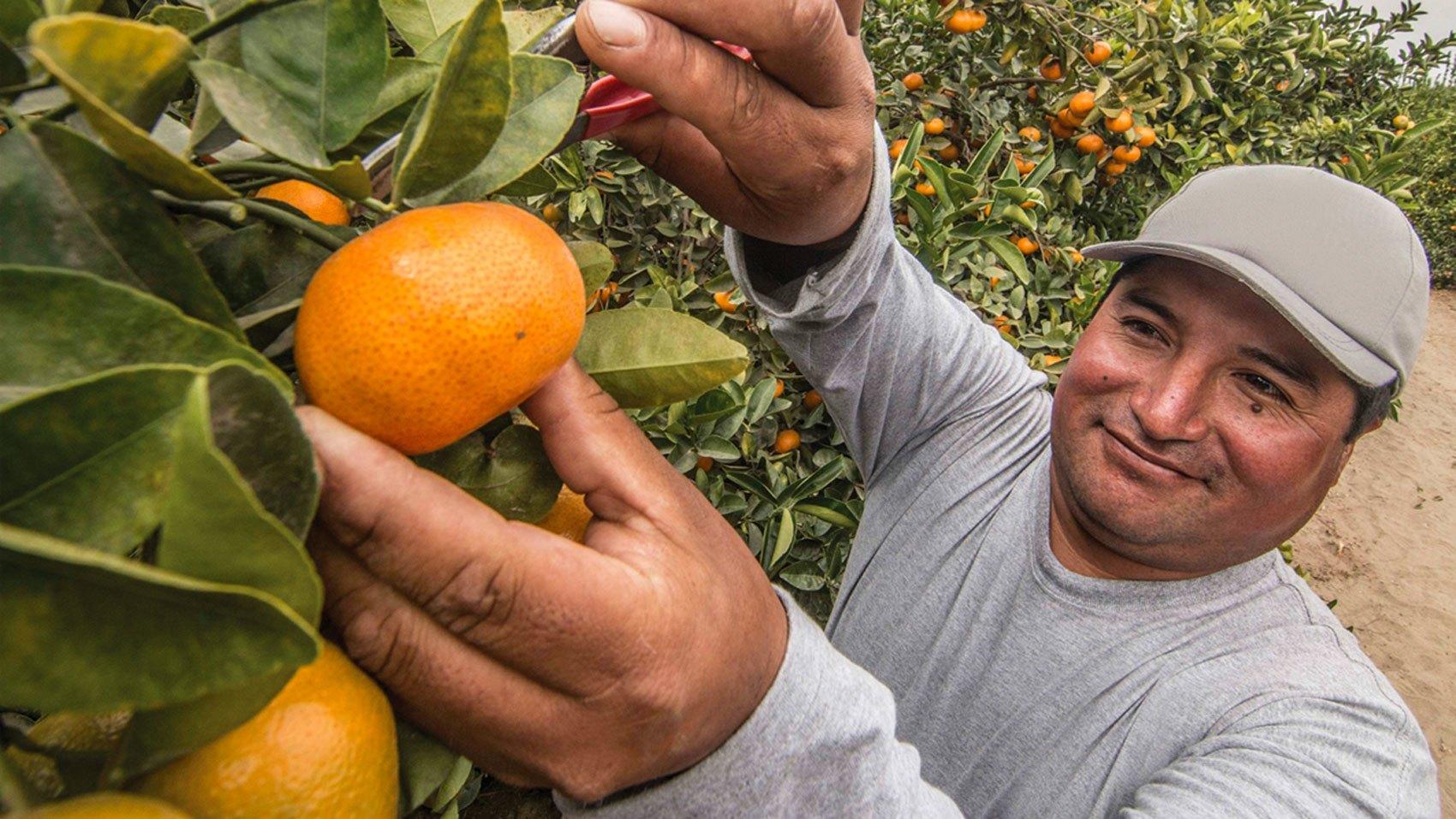 Supplier Opportunity/tangerine-picker.jpg