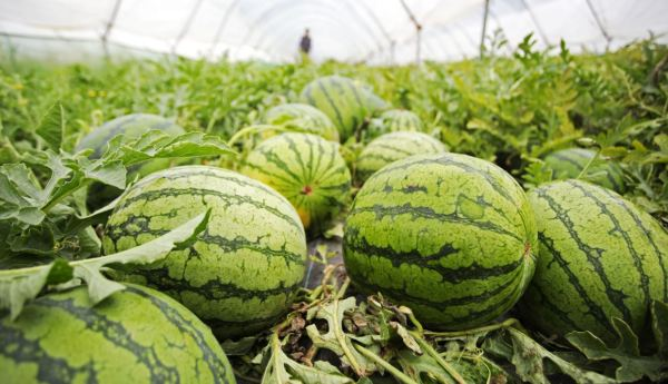 Some of the watermelons grown in Kent for Asda