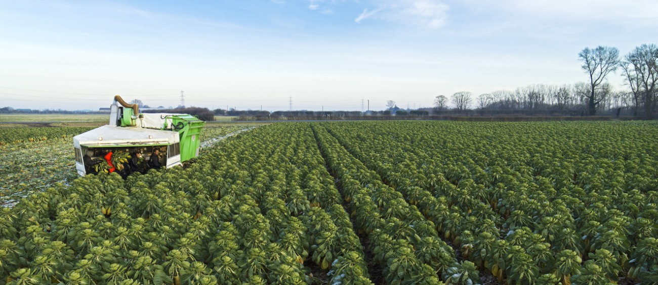 Asda sprouts being farmed in Lincolnshire