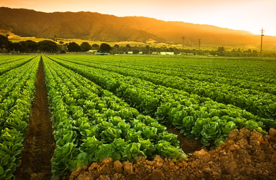 Field of lettuce with sun peeking over the hills