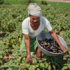 Two farmers in India harvest eggplants