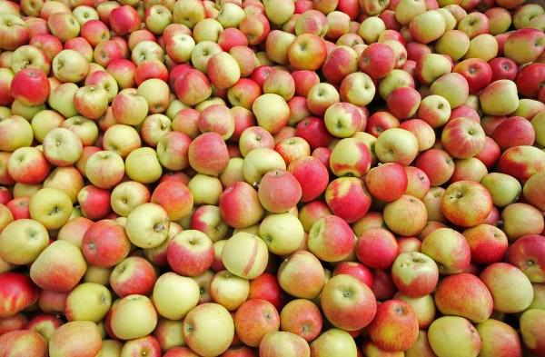 Apples at Richard Pemble's farm