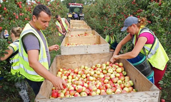 Apple picking at Richard Pemble's farm